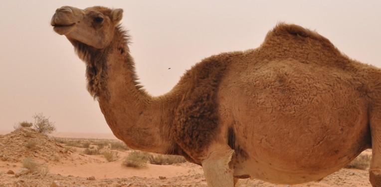 injaz_cloned_camel
