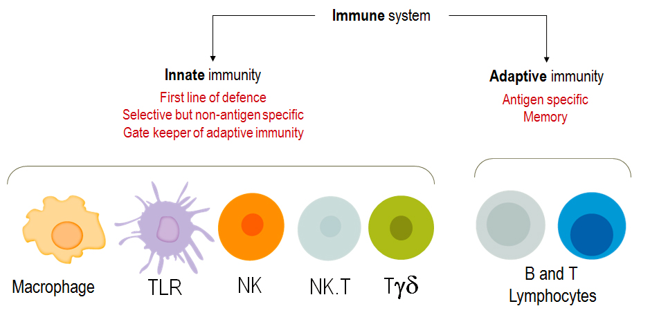 Immune System and Highly Organized Centers