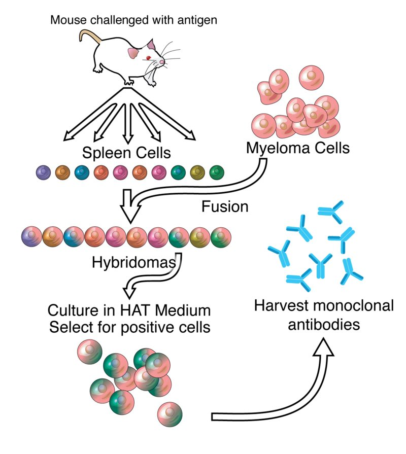 Monoclonals_antibody_process