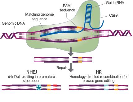 CRISPR-mechanism