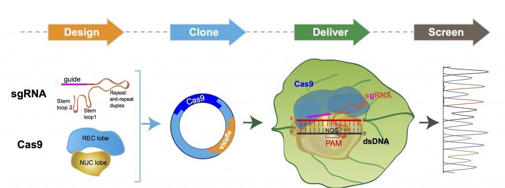crispr_cas9_plant_genome_gmo