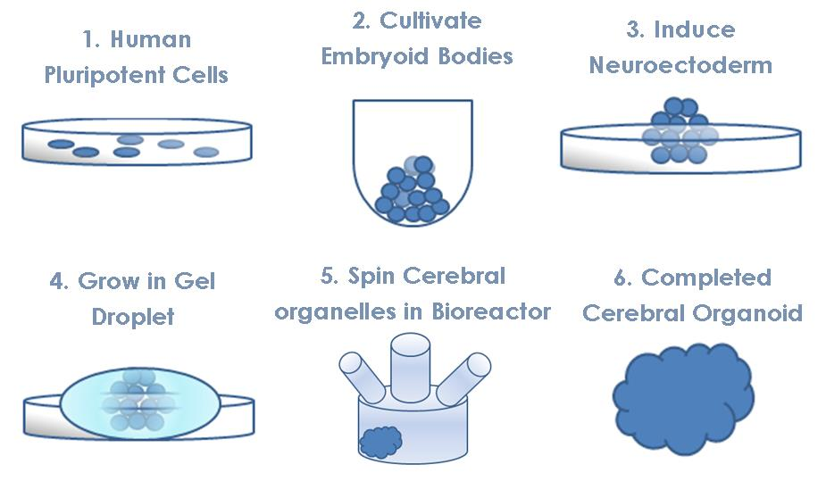 cerebral_organoids_mini_brains_neurological_disease