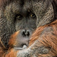 orangutan_apes_deforestation_yeast_bath_biotech_palm_oil
