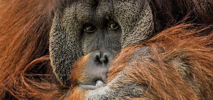 orangutan_apes_deforestation_yeast_bath_biotech_palm_oil