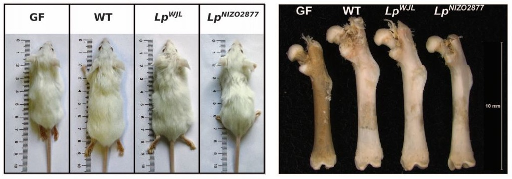 microbiome_growth_lyon_science_lactobacillus_plantarum_IGF1