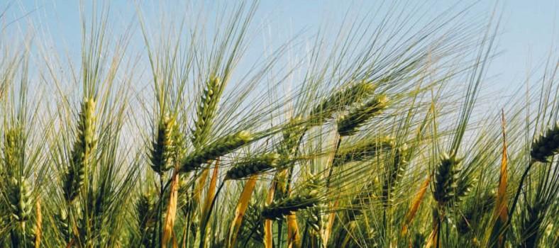 wheat_meiogenix_spix_epigenetics_cambridge_bbrsc