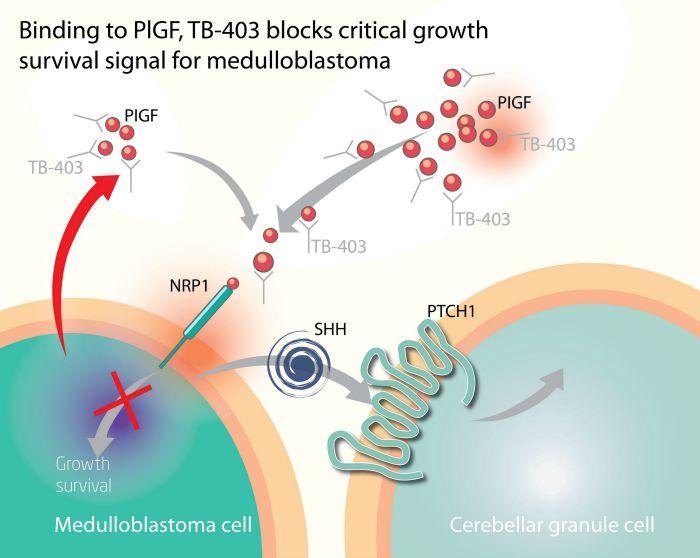 biotech_cancer_pigf_placenta_neuroblastoma_medulloblastoma_bioinvent_immunooncology