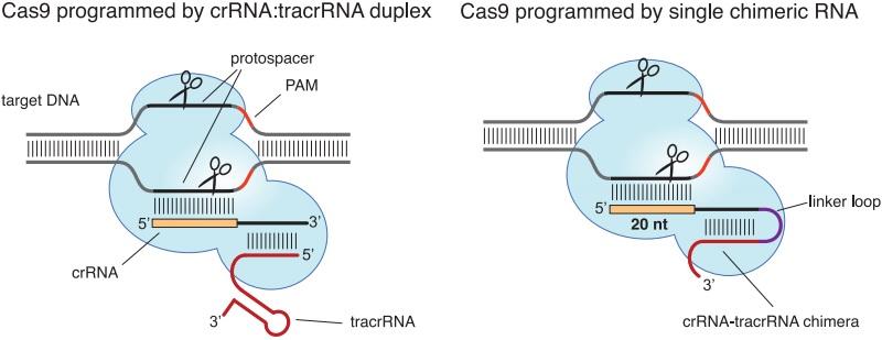 crispr_charpentier_ers_genomics_bayer