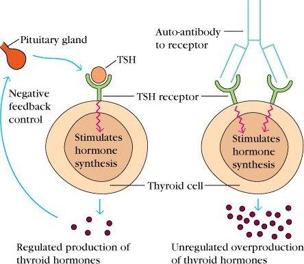 graves-disease-hyperthyroidism-antibody_autoimmune_biotech