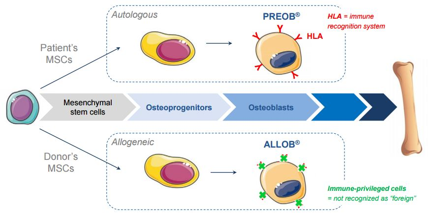 osteoblast_cell_therapy_allogeneic_allob