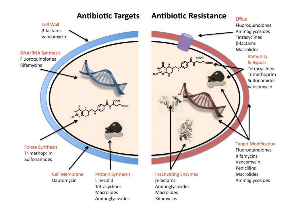 antibiotic_resistance_mechanisms_beta_lactamase