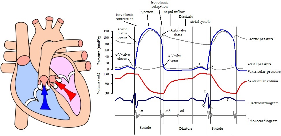cardiac_cycle_end_diastolic_volume