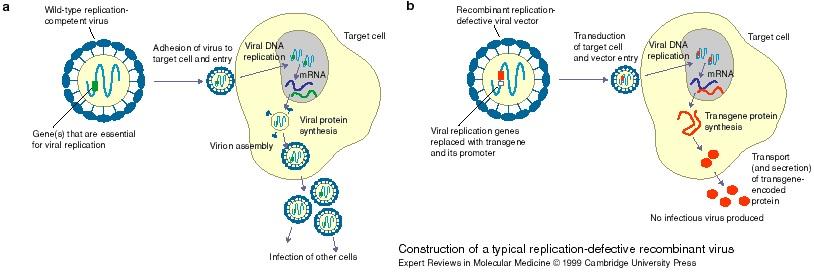 replication defective virus vaccines hcmv