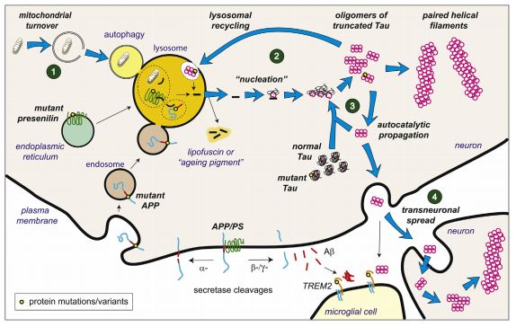 tau aggregation pathway alzheimer's therapy