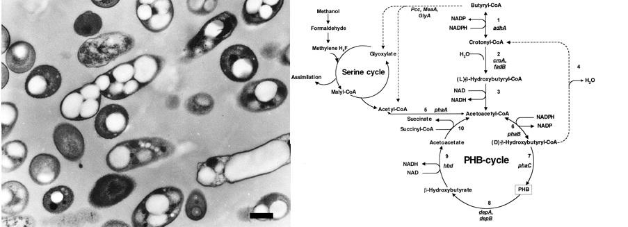 bioderived plastics bioplastics phb metabolic pathway