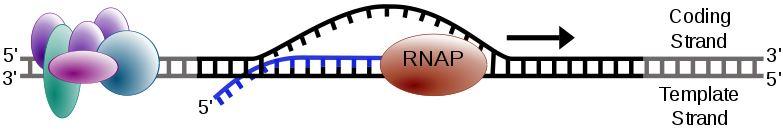 transcription addiction rna polymerase inhibitor