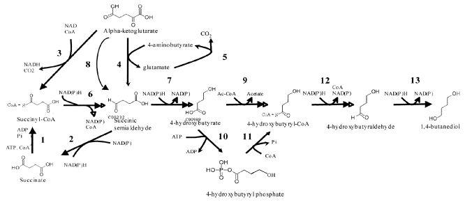 biobased butanediol metabolic pathway genomatica
