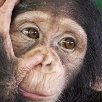 chimp-apple2499-fi