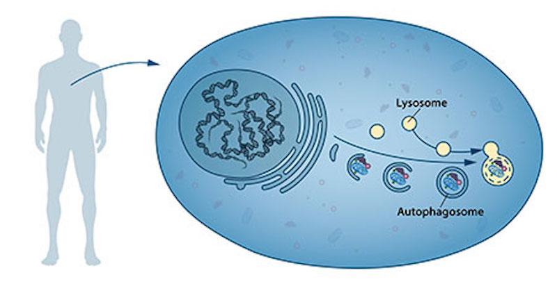 Figure 1. The process of autophagy.