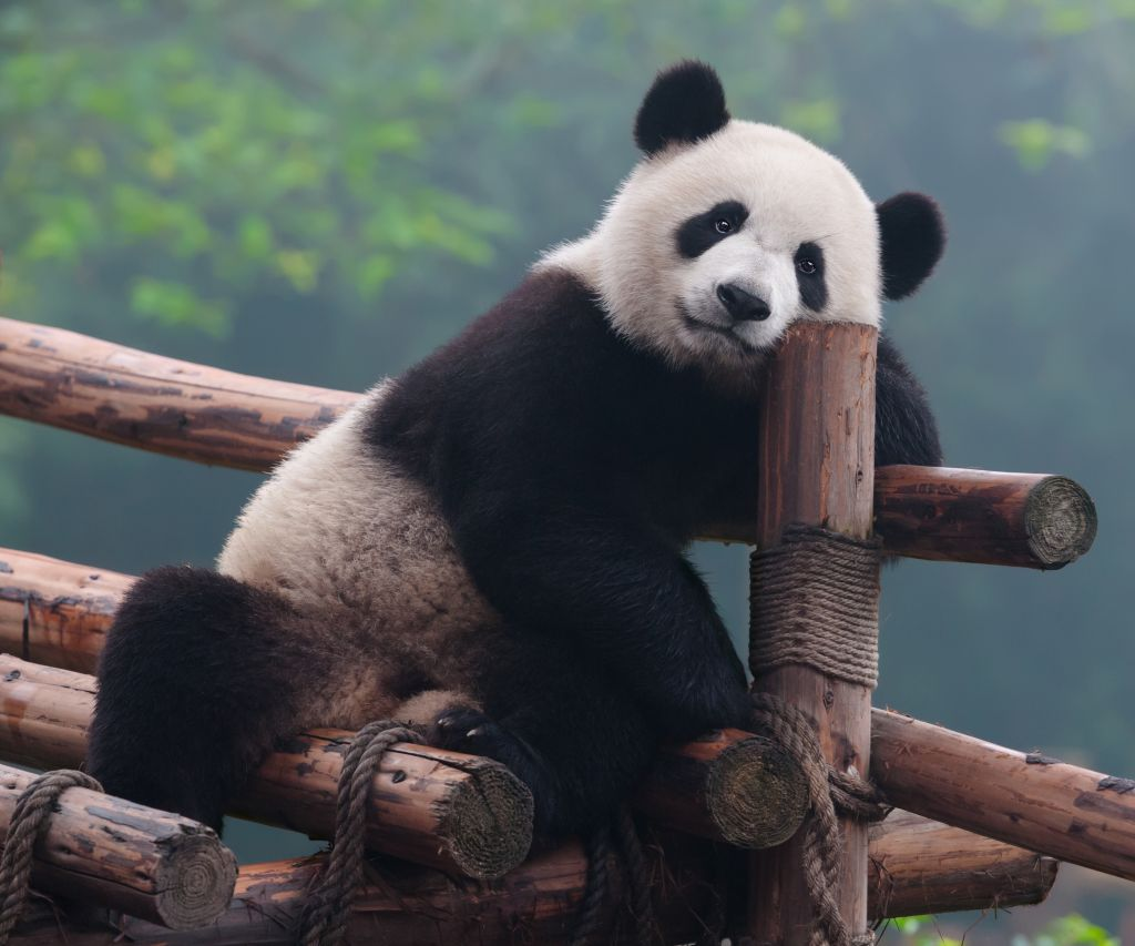 Figure 1. In other news, the world's oldest panda died today.