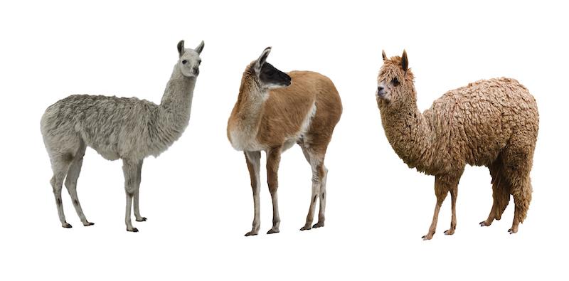 camelids-antibodies-volkova-natalia-small