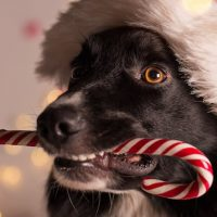 free-samples-toyopearl-dog-christmas-hat-party-lukas-gojda-fi-lq