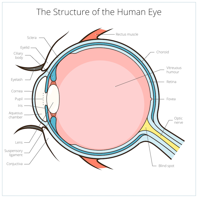 A diagram of the human eye