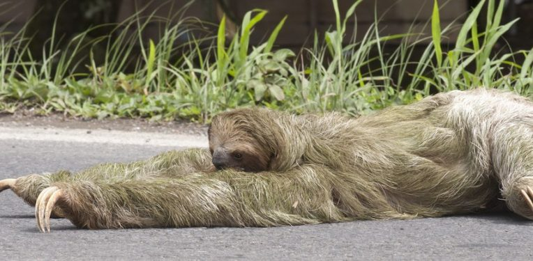 sloth-crossing-the-road-scenic-shutterbug-fi