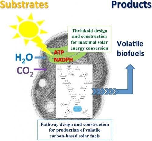 photanol-cyanobacteria-synbio-chassis-platform