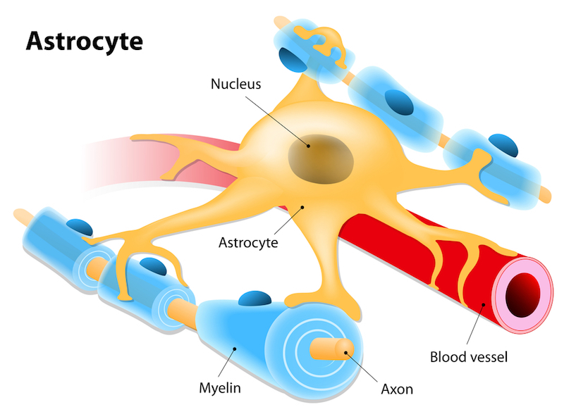 Astrocytes are an integral part of the blood-brain barrier as they support the endothelial cells that comprise it.