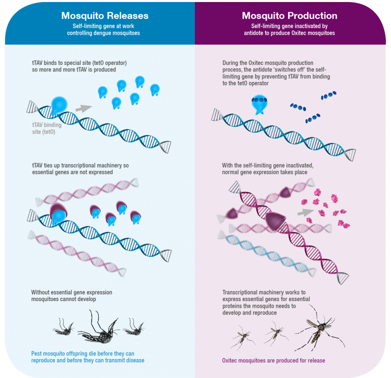 Oxitec mosquito engineered gene