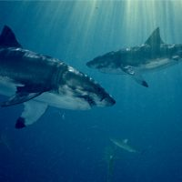 Elasmogen shark antibody Amgen deal