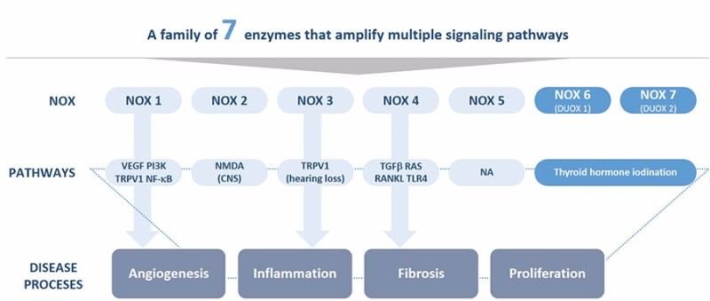 Genkyotex NOX enzyme pathways