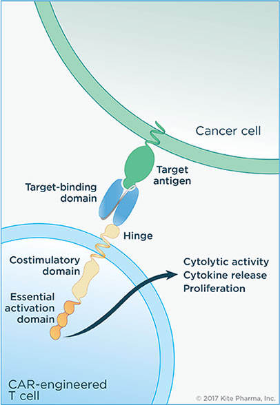 CAR-T-chimeric-antigen-receptor
