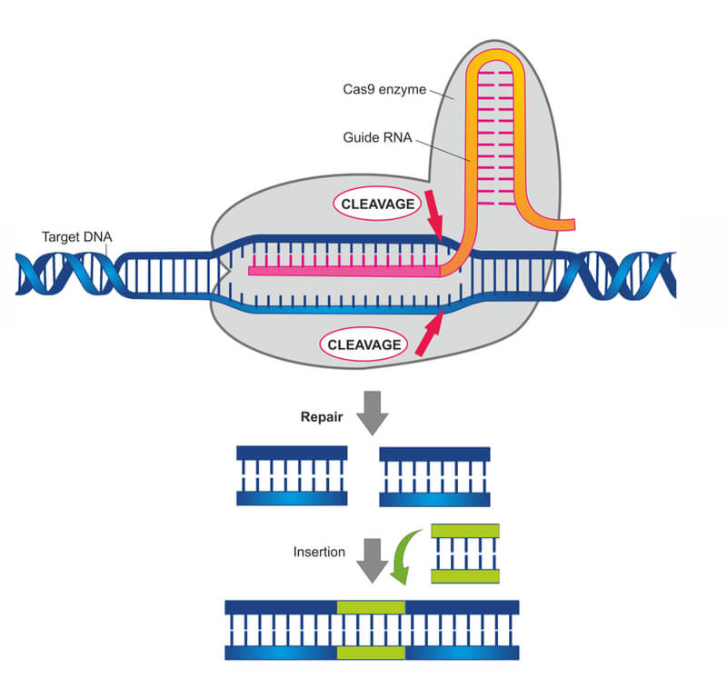 FDA Puts Clinical Trial for CRISPR Therapy on Hold