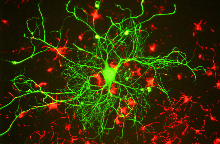 neuron cell culture organoid minibrain