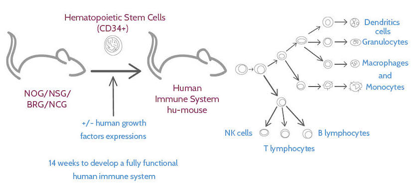 full human immune system mouse model, immuno-oncology, Transcure bioServices, immunotherapies, immune system