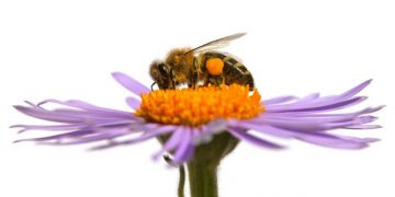 bees dying university of Cambridge vaccine virus