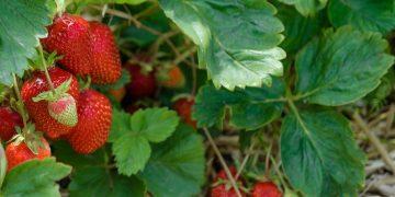 agrosavfe belgium strawberry pesticide fungal